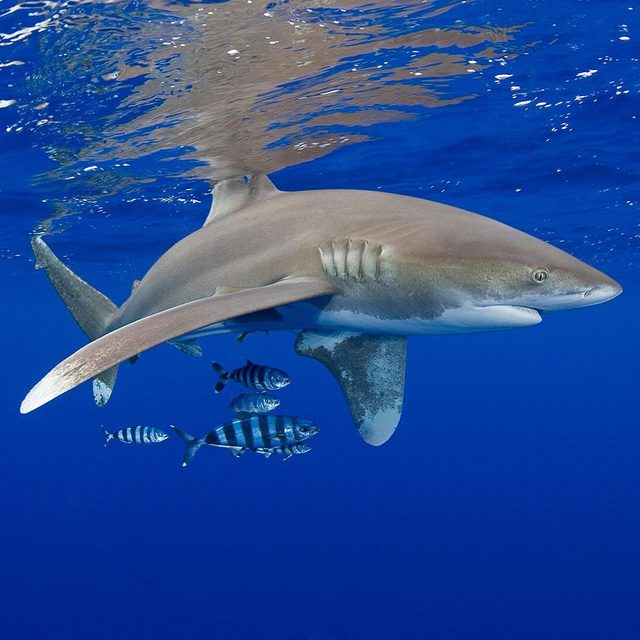 Hawaii is on track to become the first in the nation to ban shark fishing outright, creating a critical safe harbor for these threatened animals 🦈. Around 100 million sharks are caught every year by commercial fisheries, but now, the Aloha State is poised to offer the beleaguered big fish a safe harbor! Visit the link in our profile for more. Photo: Nature Picture Library/Alamy. - #sharks #animals #wildlife #oceans #fishing #nature #hawaii