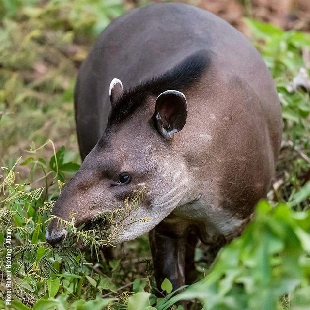 Raise your 🙋♀️ if you have heard of a tapir! Tapirs are kind of like big, weird farmers of (and for) the wild, AND they need our help! We need theirs to save the rainforest 🌴 (and ourselves), but tapirs are in trouble. The International Union for Conservation of Nature classifies lowland tapirs as vulnerable to extinction due to habitat loss and hunting. Read more about them and how to help through link in our bio.  #Tapir #Rainforest #Wild #Science #ClimateChange #Nature #Farmers #Wildlife #Conservation