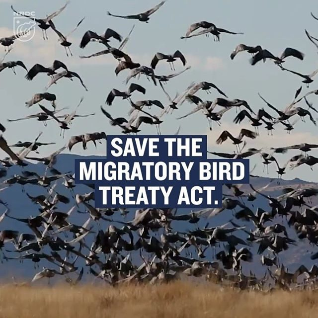 Happy #WorldMigratoryBirdDay! 🦅 Birds are winging into spring migration mode, but their safety is at risk: For more than a year, the U.S. Department of the Interior has been making plans to weaken the Migratory Bird Treaty Act. Conservation groups, including NRDC, sued the administration to stop this senseless action. Not holding industries accountable for inadvertently killing birds is irresponsible and inhumane. Help ensure that birds have strong enforceable protections. Learn more via the link in our profile. 🦆 - #birds #wildlife #animals #MBTA #migratorybirdtreatyact