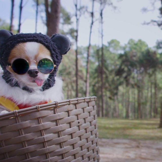 """In their zeal to treat dogs like members of the family, some pet owners are providing everything from """"pawdicures"""" to private chefs. Watch the whole video, featuring @tinkerbellethedog and other pampered pups, by tapping the link in our bio. #dogsofinstagram"""
