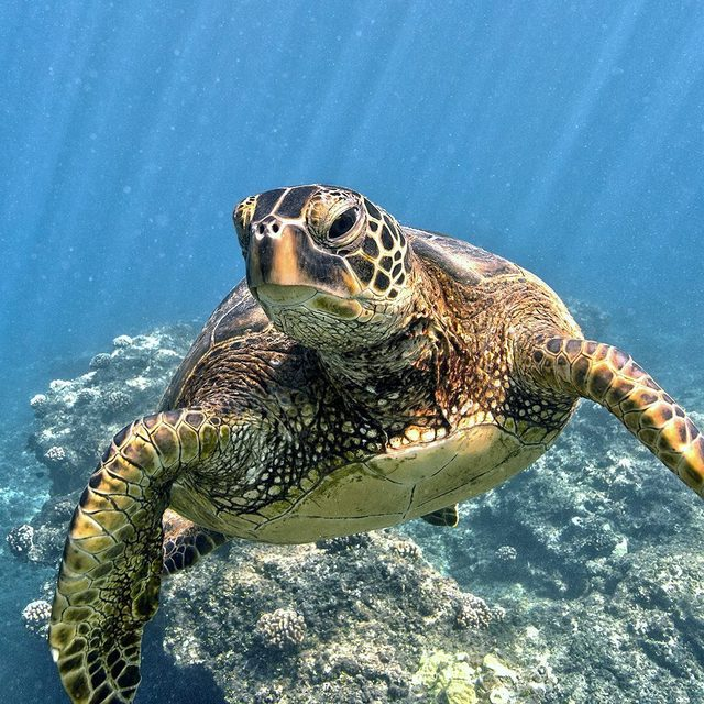 Oh hello! 🐢 Just swimming through to let you know today is #WorldSeaTurtleDay! Most sea turtles live up to 80 years, and travel thousands of miles through our oceans during their lifetime. 🌊 To help us protect sea turtles and their marine habitats, text OCEANS to 21333 or visit the link in our profile! - #seaturtles #turtles #turtle #wildlife #animals #oceans #nature #conservation