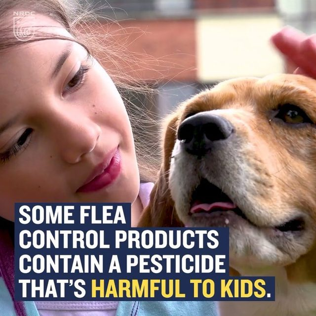 NRDC is taking the EPA back to court to protect kids from toxic flea control products used on pets. The agency's own calculations show that the residue from flea control products containing tetrachlorvinphos (TCVP) can expose young kids up to 1,000 times above the EPA's safety level. But the agency has delayed any action, which means these products remain on the market. The good news is that while we fight to get these toxic products off store shelves, pet lovers have safer options to control fleas. Visit the link in our bio to learn more!  #epa #toxics #fleacontrol #publichealth