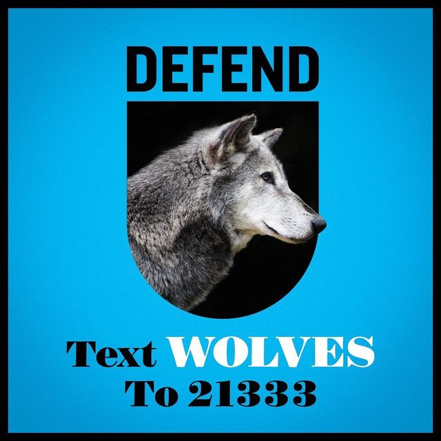 We have just five days left to speak out against President Trump and his Interior Department's disastrous plan to remove critical Endangered Species Act protections for gray wolves, before the public comment deadline on Monday. Visit the link in our profile or text WOLVES to 21333 to stand with us and fight for gray wolf protections! - #wolves #graywolves #endangeredspecies #endangeredspeciesact #ESA