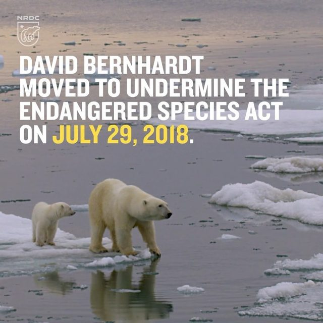 When former Interior Secretary Ryan Zinke asked his number two, David Bernhardt, to overhaul the Endangered Species Act, who do you think he consulted with? Not environmentalists. Instead, Bernhardt gathered input from mining, fossil fuel, and logging interests before proposing to cripple our landmark species conservation law. And now Bernhardt is in charge of the Interior Department. Under his leadership, the Endangered Species Act is endangered. But it's not too late to fight back. Visit the link in our profile to take action! 💪 - #ESA #endangeredspecies #endangeredspeciesact #davidbernhardt #animals #conservation #wildlife #draintheswamp