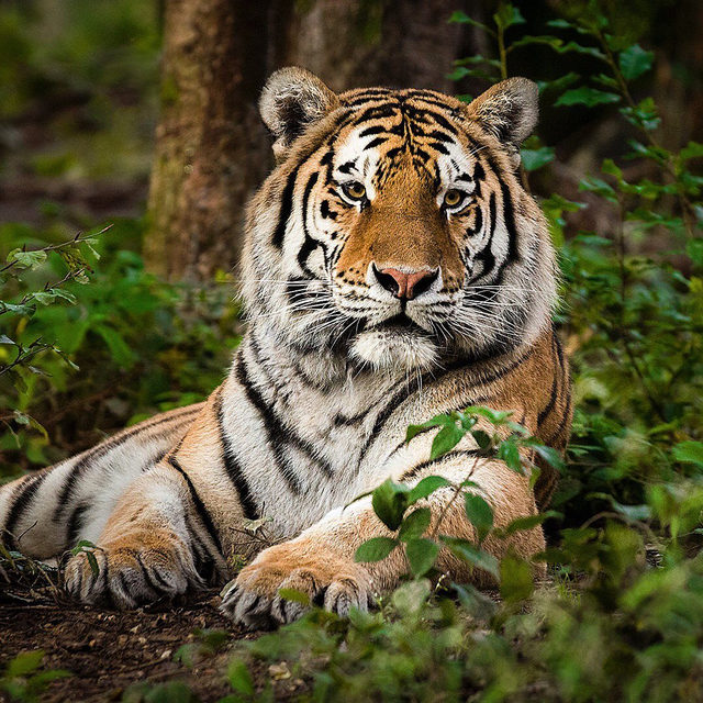 Happy #InternationalTigerDay! 🐯 Here, a #SiberianTiger relaxes in a forest in Russia. The world's largest cat, which can grow nearly 11 feet long and weigh more than 650 pounds, Siberian tigers are found in China, Russia, and presumably North Korea. 🐅 Though global tiger populations are struggling, due to habitat loss and fragmentation, poaching and illegal trade, conflicts with humans, and climate change, new efforts like China's new Northeast Tiger and Leopard National Park are helping these conservation efforts. 🐆 At this year's Global Tiger Day, China invited world top tiger scientists, conservationists and officials from 19 tiger and leopard range countries to gather together at Harbin to share the conservation efforts, review the progress and explore more transboundary cooperation for tiger protections. 🙌 Visit the link in our profile to learn more! - #tiger #tigers #wildlife #animals #wildlifeconservation #nature