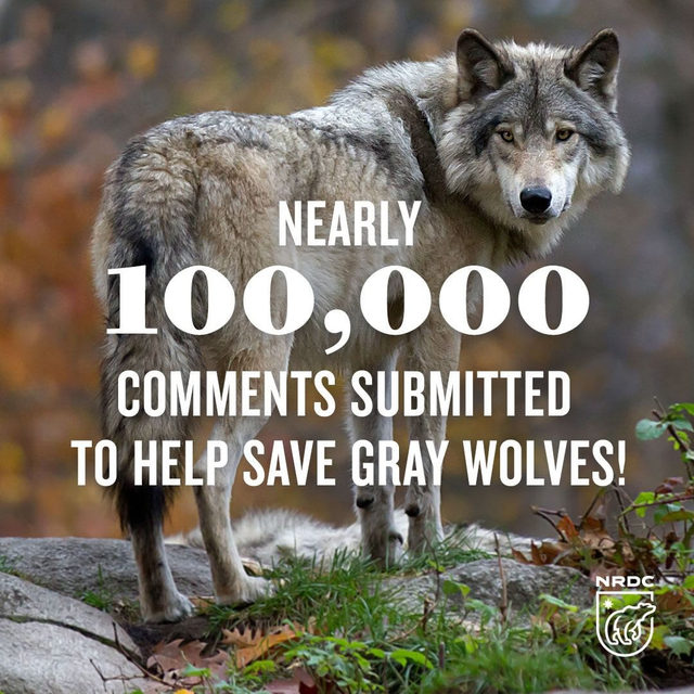 Nearly 100,000 of you joined us in speaking out against the Interior Department's disastrous plan to remove critical Endangered Species Act protections for gray wolves. A recent U.N. report revealed that up to one million species face extinction, many within decades, unless we act immediately to protect wildlife and the habitats they need to survive. Thousands of NRDC activists called on the U.S. Fish and Wildlife Service to scrap its disastrous proposal to remove vital protections for gray wolves. Thank you for standing with us and fighting for gray wolf protections. Learn how you can join the fight by visiting the link in our bio.  #graywolves #wolves #endangeredspeciesact #savegraywolves #protectgraywolves