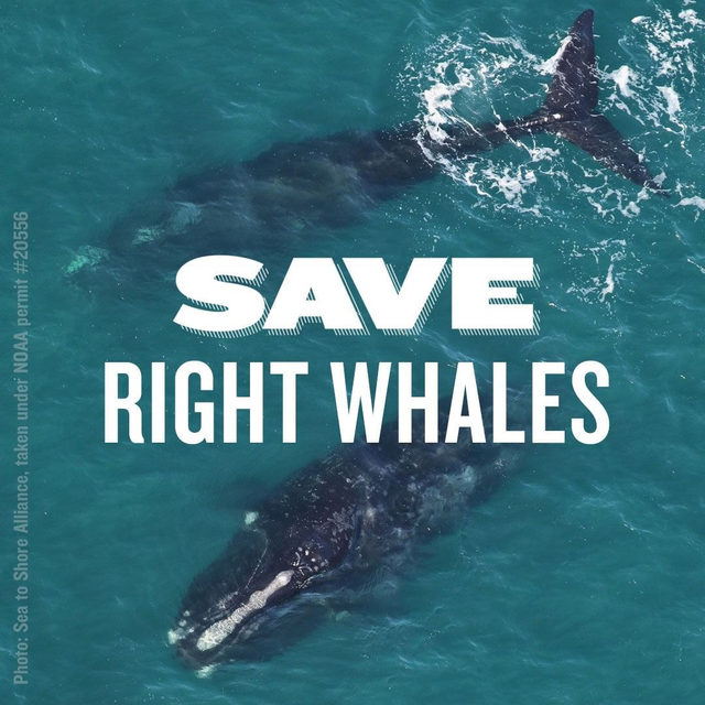 There are only about 400 North Atlantic right whales left in the world. 🤯🐋 In just the last two years, at least 26 of these whales have been killed, largely because of entanglement in fishing gear or by being struck by vessels. 😔 We are bound to lose the North Atlantic right whale forever if swift action is not taken now ➡️ link in bio.  #nrdcwhalewatch #northatlanticrightwhales #ocean #oceanconservation #saveourseas #savethewhales #saverightwhales
