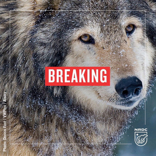 BREAKING: The Trump admin. just finalized dangerous and drastic rollbacks to the Endangered Species Act (ESA), which protects at-risk species from gray wolves to bald eagles. The changes to the law insert economic factors into decisions regarding whether a species should be listed as endangered, letting dollar signs control these decisions instead of science. Read more about what this means for our endangered species in the link in our bio. - #ESA #animals #wildlife #biodiversity #endangeredspecies #endangeredspeciesact