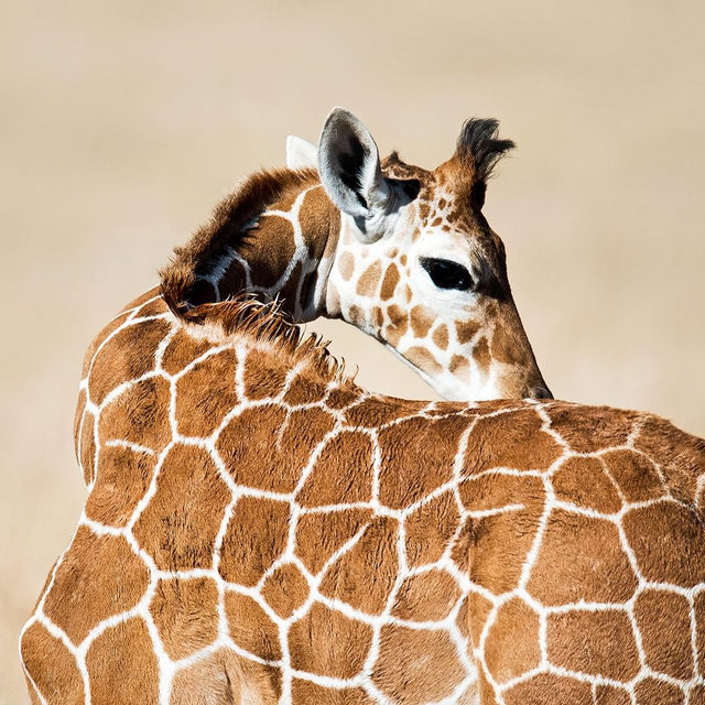 Giraffes have declined 40% in 30 years, and there are now approximately 68K left in the wild. 🦒Yet neither U.S. nor international laws give them much protection. And while giraffes clearly qualify under the Endangered Species Act, they're not on the list. Learn more, and take action to protect this magnificent animal, via the link in our profile. - #ESA #giraffes #animals #wildlife #endangeredspecies