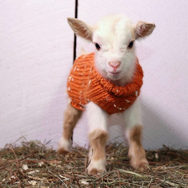 When someone tells us they like our new sweater. @sunflowerfarmcreamery