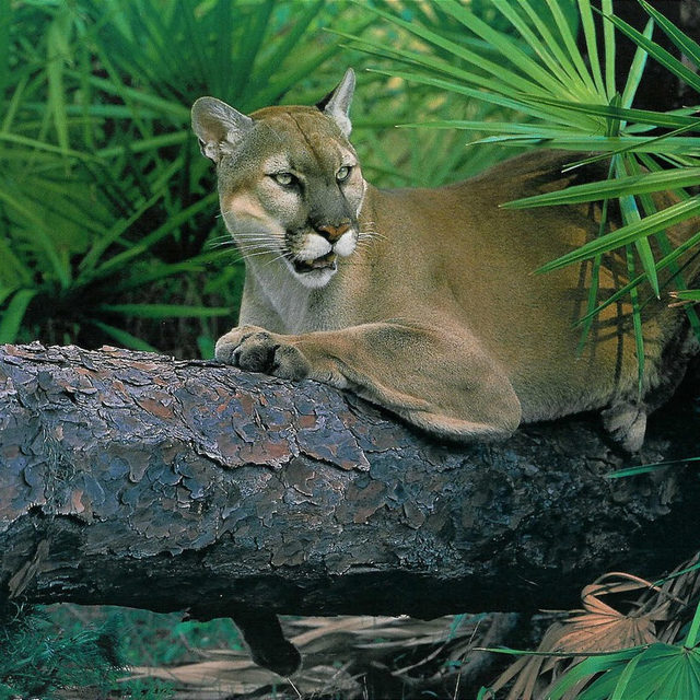 On #NationalCatDay 🐱, we're highlighting the Florida panther: the only remaining puma species in the eastern United States. It is estimated that fewer than 230 of them remain, and live in a single, tiny population in South Florida. These big cats experience constant threats to their survival from habitat loss, due to large part to oil exploration and development. ✅ The good news is, they're currently protected by the Endangered Species Act. ❌ The bad news is the Trump administration is working tirelessly to undermine this bedrock law. Visit the link in our profile to raise your voice to protect endangered animals, and strengthen the ESA! 🗣 - #animals #wildlife #cats #panther #panthers #floridapanthers #florida #endangeredspecies #endangerespeciesact #ESA