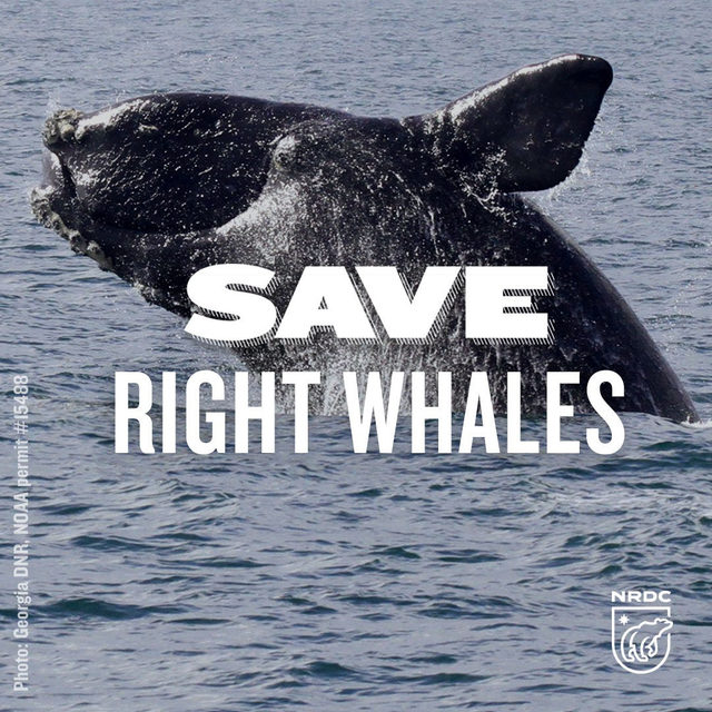 There are only about 400 North Atlantic right whales left in the world. 😔After a team of scientists studied right whale deaths over a 15 year period, they found that, devastatingly, the two most common causes of death are from human actions — from entanglements in fishing gear and vessel strikes. Fortunately, there IS a solution. Check the link in our bio to learn more. 🌊 - #NRDCWhaleWatch #SaveRightWhales #RightWhales #Whales #MarineMammals