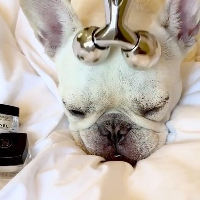 Count me in too for a little head massage 💆Link in bio for more info on if scalp massagers can stimulate hair growth #regram @marzipanthefrenchie