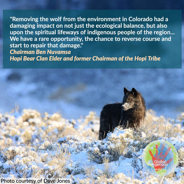 Wolves play a key role in maintaining the natural balance of their ecosystems. They are under attack across the country, and their habitats are in danger if they disappear. Colorado has the chance to change the course of history for the wolf. Help us bring the wolf back to Colorado. Help us restore the balance for future generations.  ⠀⠀⠀⠀  NRDC stands with tribal organizations and leaders including the Global Indigenous Council in endorsing #YesOn114, the Colorado ballot initiative on wolf reintroduction. ⠀⠀⠀⠀  ➡️ Follow the link in bio to learn more.  ⠀⠀⠀⠀  #RestoretheHowl  #YesOn114  #GlobalIndigenousCouncil