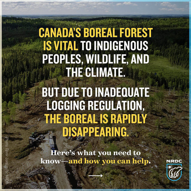 Save the boreal forest! 🌲  A new analysis provides evidence that large-scale logging in Canada's boreal forest is not sustainable, despite claims from forestry companies operating there and U.S. corporations—like @proctergamble—that purchase wood and pulp from the boreal.  NRDC found industrial logging operations are endangering the climate-critical boreal forest and undermining the rights of Indigenous Peoples to say how their traditional lands are managed.    Industrial logging in Canada clearcuts more than one million acres every year from the carbon-rich boreal forest, which stores nearly twice as much carbon as exists in all the world's oil reserves, and nearly twice as much carbon per acre as the Amazon.   Canadian provinces have given industry enormous leeway to clearcut high volumes of the country's remaining forest, and have failed to adequately report the climate emissions associated with logging.  This has led Canada to consistently rank with Brazil and Russia as one of the top three worst global o